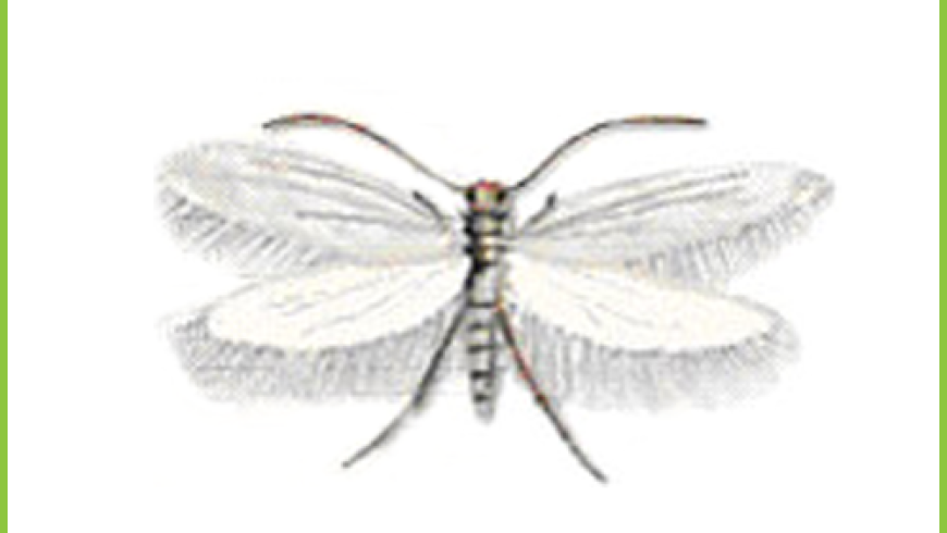 Mol Ubraniowy (Tineola bisselliella)