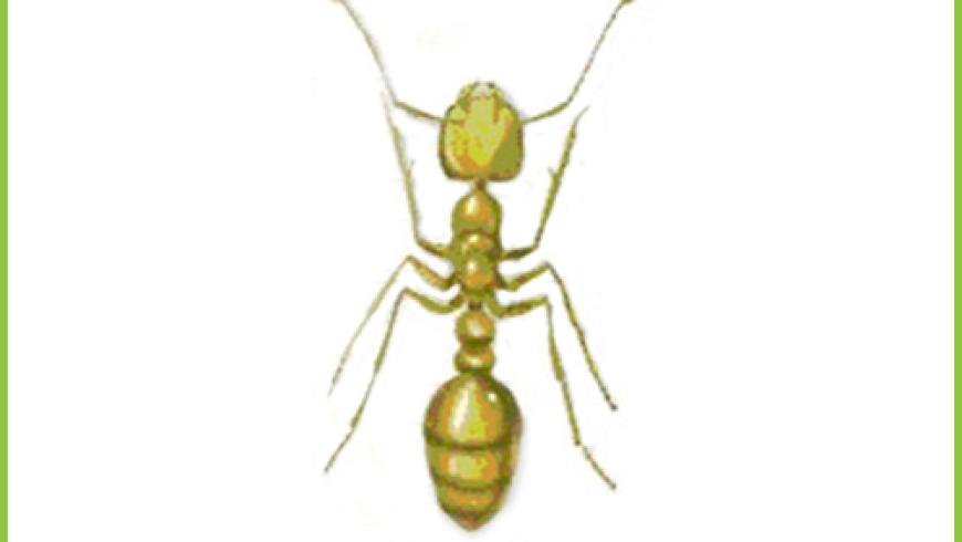 Mrówka Faraona (Monomorium pharaonis)