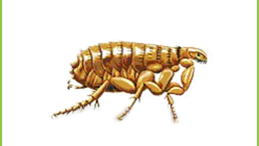 Pchły (Pulicidae)
