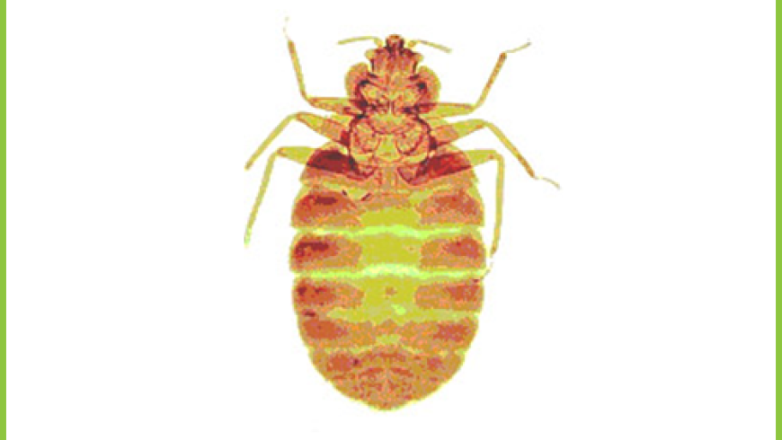 Pluskwa Domowa (Cimex lectularius)
