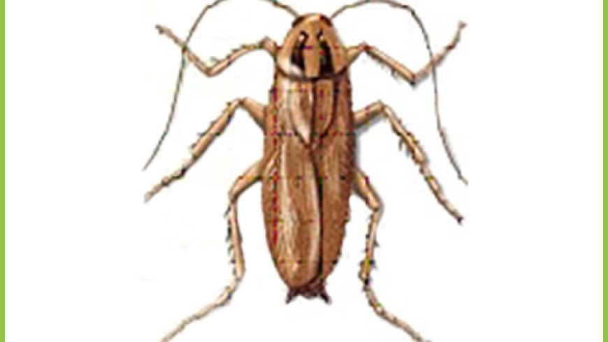 Prusak (Blatella germanica)