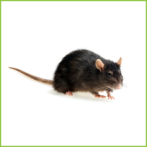Szczur Śniady (Rattus rattus)