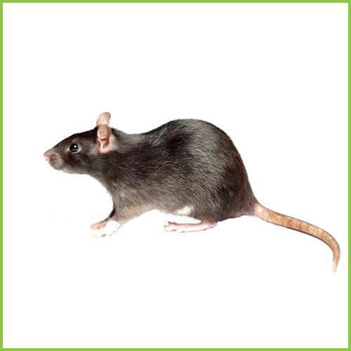 Szczur Wędrowny (Rattus norvegicus)